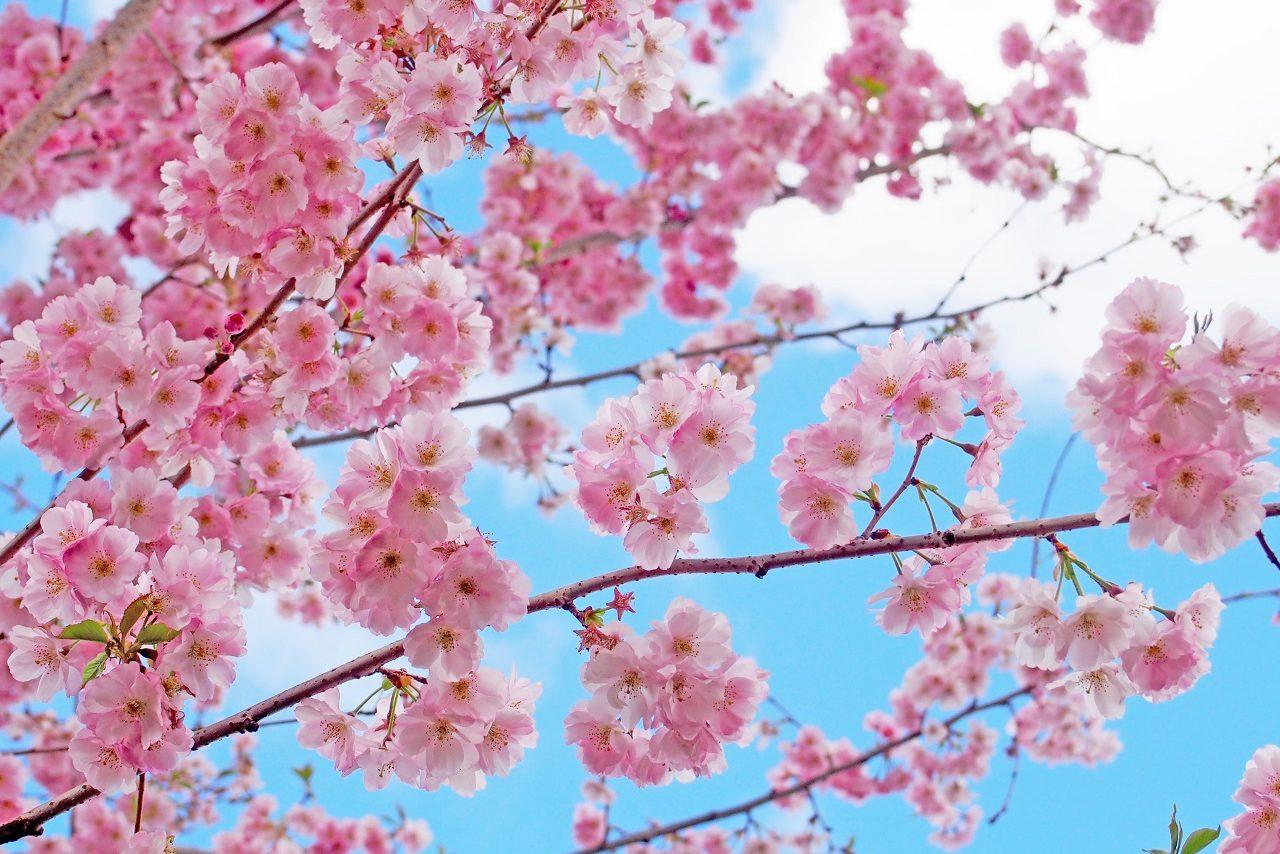 パリ郊外のお花見スポットParc de Sceaux (ソー公園)!